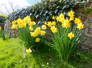 Spring daffodils at St Donat's near the Old Forge