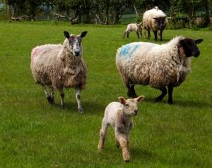 Sheep Merryiew Farm