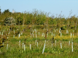 Replanted Monks Wood
