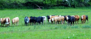 Herd deciding whether to charge
