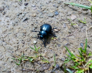 Black beetle Caerhilly Common