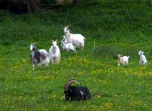 Goats and kids