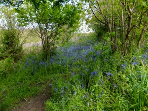 Bluebells on the Wales Coast Path