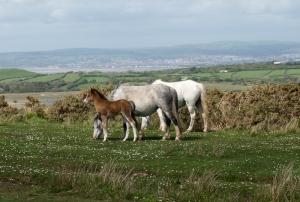 Foal on Cefn Bryn