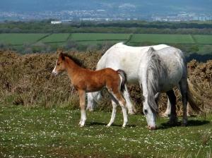 Foal on top of Cefn Bryn