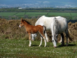 Foal on top of Cefn Bryn