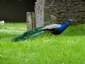 Peacock at Lanvihangel Court