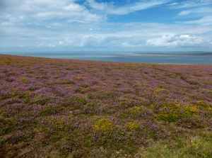 Dwarf gorse and heather on Llanmadoc Hill