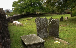 Sheep chomping at St Ilans's Church Eglwysilan