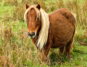 Pergnant pony Mynydd Meio