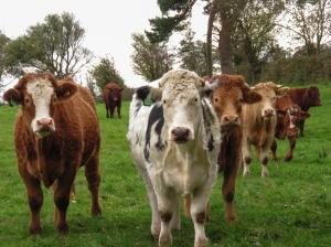 Cattle on return journey