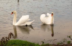 Mute Swans Kenfig Pool
