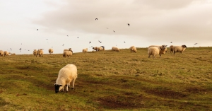 Sheep on Beacons Down