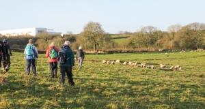 Through the sheep towards Penmark
