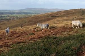 Pregnant ponies on Cefn Bryn