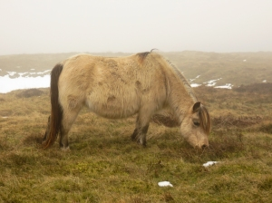 Pregnant mountain pony