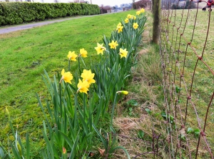 Daffodils at the start