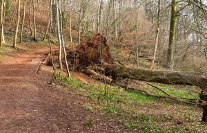 Uprooted beech tree