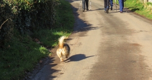 Three-legged dog