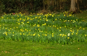 Welcoming daffodils at Machen