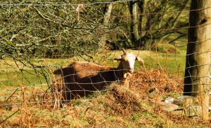 Goat at Blaen-y-cwm-isaf