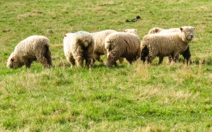 Merino sheep beside the Wye