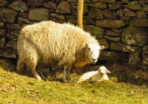 Newly born lamb