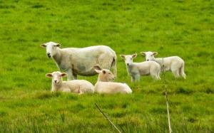 Livestock at Bronyn Farm
