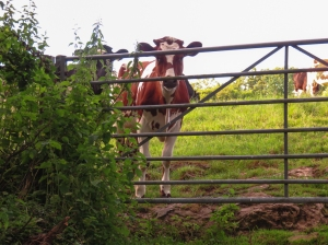 Cow below Beauville Farm