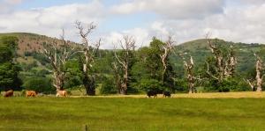 dying oak trees near Llanvihangel Court