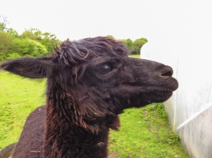 Dilwyn the Alpaca