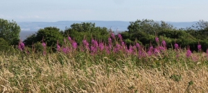 Willowherb at Rhoose fields