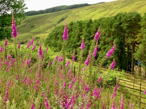Foxgloves near reservoir
