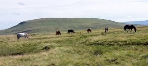 Mountain ponies near Craig cerrig-gleisiad