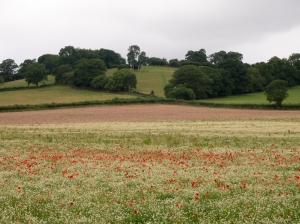 Poppies in field on Hereford Trail