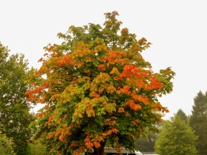 Horse Chestnut at Plas Pencelli