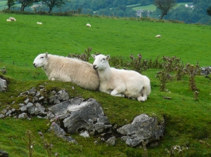 Sheep relaxing