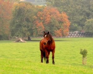 Chestnut horse at Coity-mawr