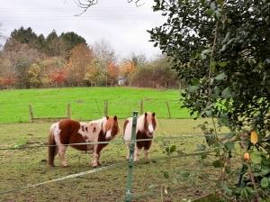 Two plump Shetland ponies