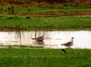 Seagulls on makeshift pond