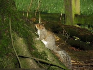 Squirrel at Pontcanna