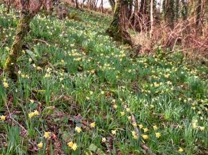 Daffodils in Coed y Bwl