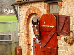 Peeping horse at stables in Penhow
