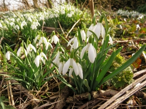 Snowdrops at Blackhall