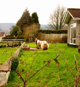 No need for lawn mowers they have sheep!
