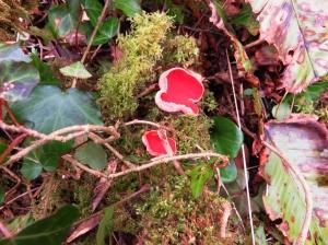 Scarlet Elf fungus