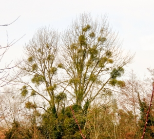 Tall trees with mistletoe attached