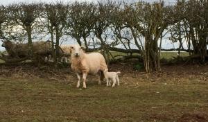 Spring lamb and mum