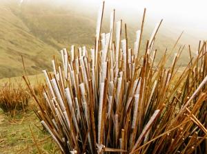 Frozen spiky grass