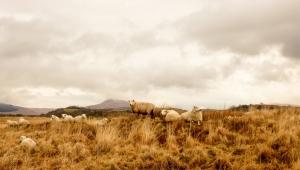 Moel Penderyn and sheep